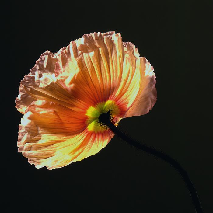 271 Poppy